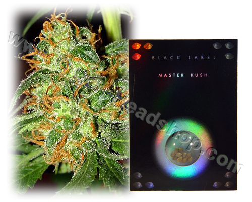 Master Kush HQ Black Label (10 graines)
