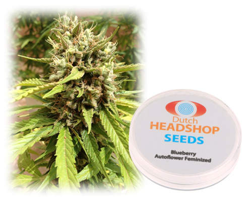 Blueberry autoflower feminized (10 seeds) Private Label