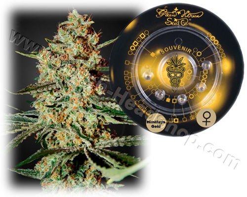 Himalaya Gold feminized (5 seeds) Greenhouse