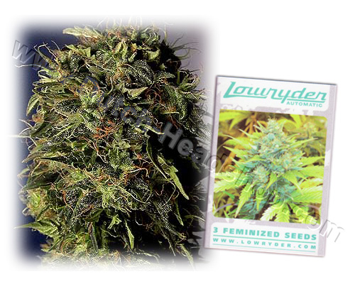 Lowryder autoflower feminized (3 seeds) Joint Doctors