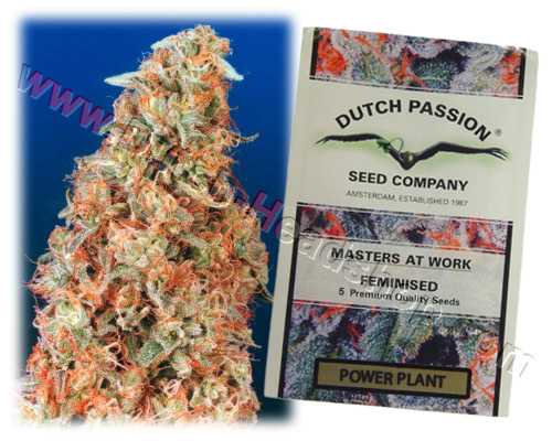 Power Plant feminized (10 seeds) Dutch Passion