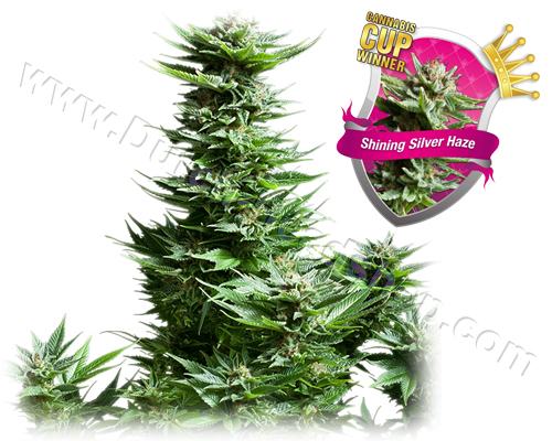 Shining Silver Haze gefeminiseerd (5 zaden) royal queen