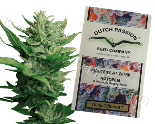 Think Different autoflower feminisiert (3 samen) Dutch Passion