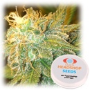 Girl Scout Cookies feminized (5 seeds) Private Label
