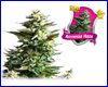 Amnesia Haze feminized (5 seeds) royal queen