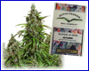 AutoMazar autoflower feminized (3 seeds) Dutch Passion