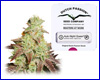 AutoNight Queen autoflower feminized (Dutch Passion) 3 seeds
