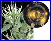 Big Bang Autoflower feminized (3 seeds) Greenhouse