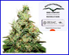 CBD Kush feminized (5 seeds) Dutch Passion