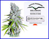 CBD Skunk Haze feminized (5 seeds) Dutch Passion / CBD Crew