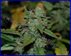Diesel Ryder autoflower feminized (5 seeds) Joint Doctors