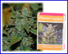 Diesel Ryder autoflower feminized (3 seeds) Joint Doctors