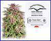 Frisian Dew feminized (5 seeds) Dutch Passion