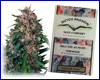 Hollands Hope feminized (5 seeds) Dutch Passion