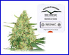 Night Queen feminized (Dutch Passion) 5 seeds