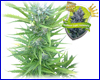Northern Light Automatic feminized (5 seeds) royal queen