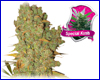 Special Kush #1 feminized (5 seeds) royal queen