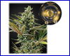 Super Lemon Haze Auto CBD feminized (5 seeds) Greenhouse