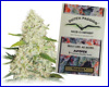 Think Big autoflower feminized (3 seeds) Dutch Passion