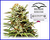 White Widow autoflower feminized (3 seeds) Dutch Passion