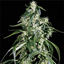 Arjans Haze Greenhouse Seeds